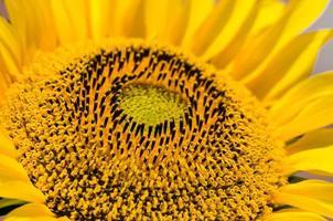 Nahaufnahme der Sonnenblume.