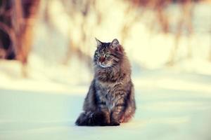 niedliche sibirische Katze, die draußen auf dem Schnee entspannt
