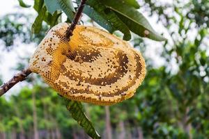 gelbe schöne Wabe mit Honig und junger Biene auf Baum. foto