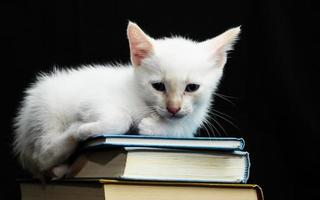 weiße junge Babykatze