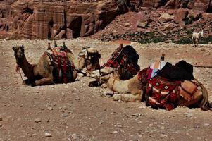 vier Kamele und ein Esel foto