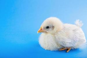 Pollito Fondo Azul foto