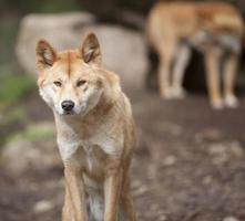 männlicher Dingo