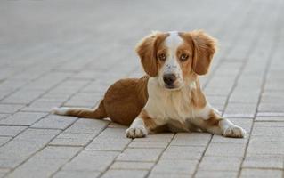 männlicher bretonischer Hund