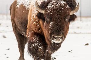 großer männlicher Büffel