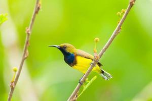 männlicher Sunbird mit Olivenrücken foto
