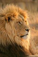 großer männlicher afrikanischer Löwe foto