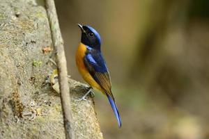 männliche rufous-bellied Niltava (Niltava Sundara)