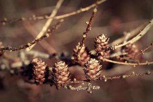 Zapfen auf dem hölzernen Naturhintergrund des Zweigs. Retro-Farbfilter