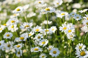 medizinische Blumen
