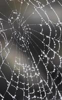 taufrisches Spinnennetz - teilweise verschwommen foto