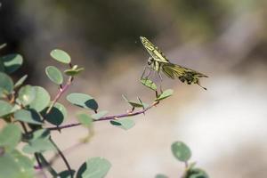 der Schwalbenschwanz, Papilio Machaon foto
