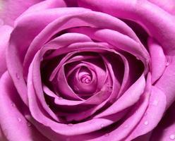 lila dunkler Rosenhintergrund, abstraktes natürliches Blumenmuster foto