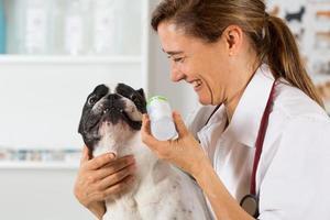 Französische Bulldogge in der Klinik foto