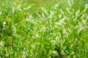 Heilpflanze foto