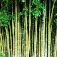 Nahaufnahme tropischer Bambusdschungelstämme