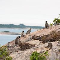 Affen im Dschungel von Sri Lanka foto