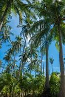 Kokosnussdschungel