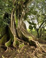 Nahaufnahme des Stammes des alten Baumes im Dschungel foto
