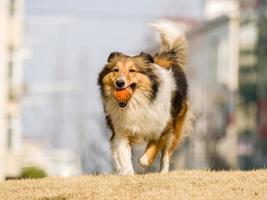 Hund, laufender Shetland-Schäferhund mit Kugel im Mund foto