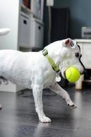 süßer Hund mit einem Tennisball foto