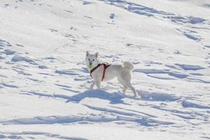 weißer Hund, der Tenisball im Schnee spielt foto
