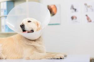professioneller Tierarzt, der einen Hund untersucht foto