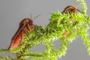 die Rubintiger (Phragmatobia fuliginosa) foto