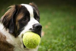 Heiliger Bernard Hund mit Spielzeug
