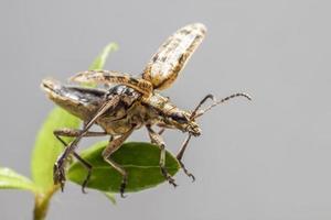 Die schwarz gefleckte Zange trägt den Käfer (Rhagium mordax). foto