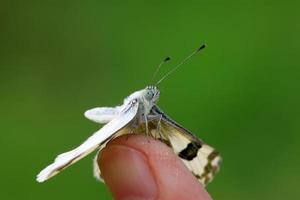 Schmetterling foto