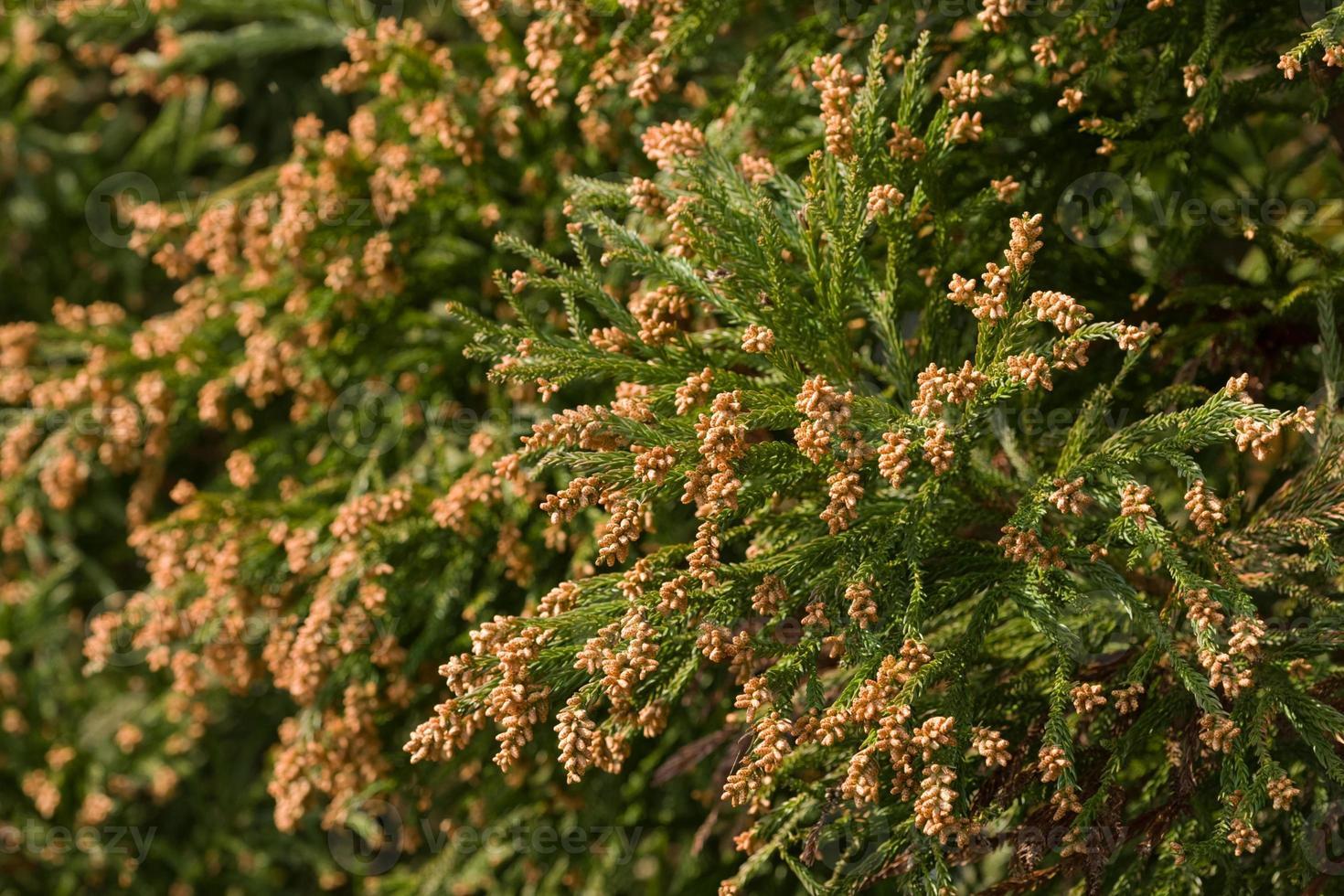 blomma av cederträ foto