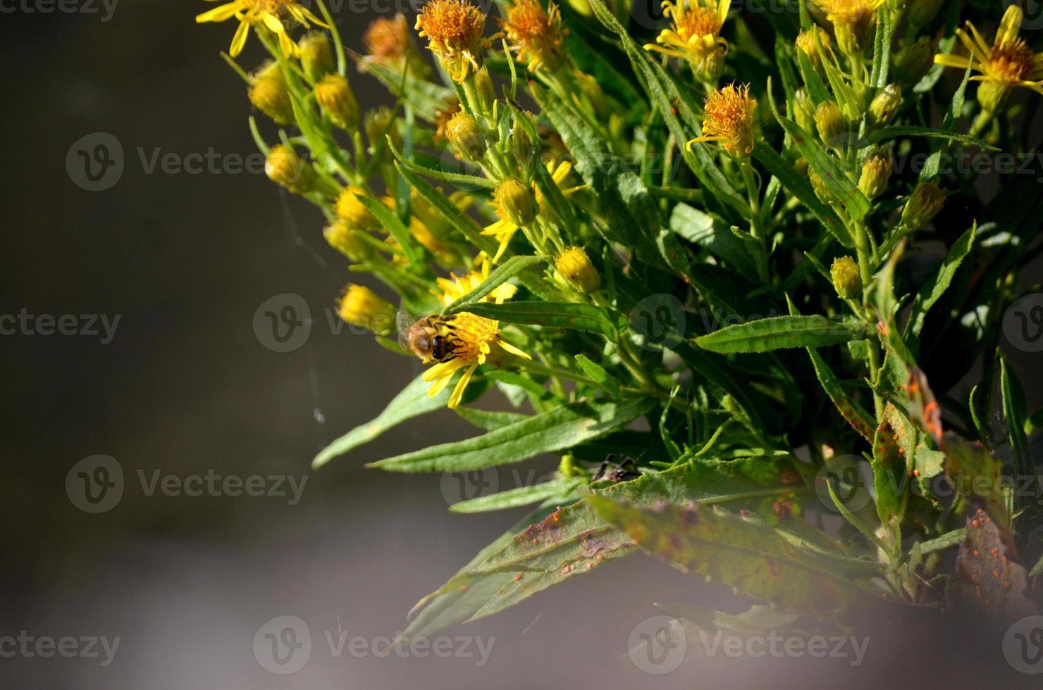 bi som pollinerar en blomma foto