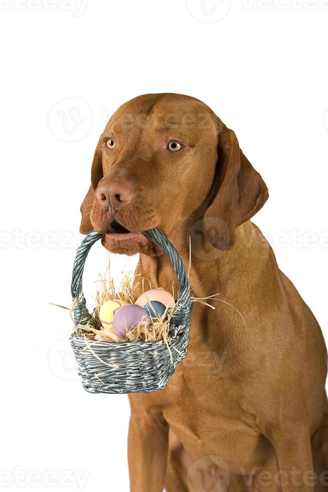 hund som håller korg med ägg foto
