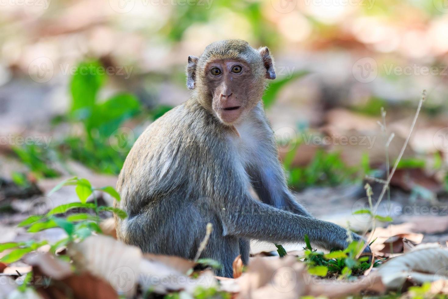 apa (krabba-äta makak) i Thailand foto