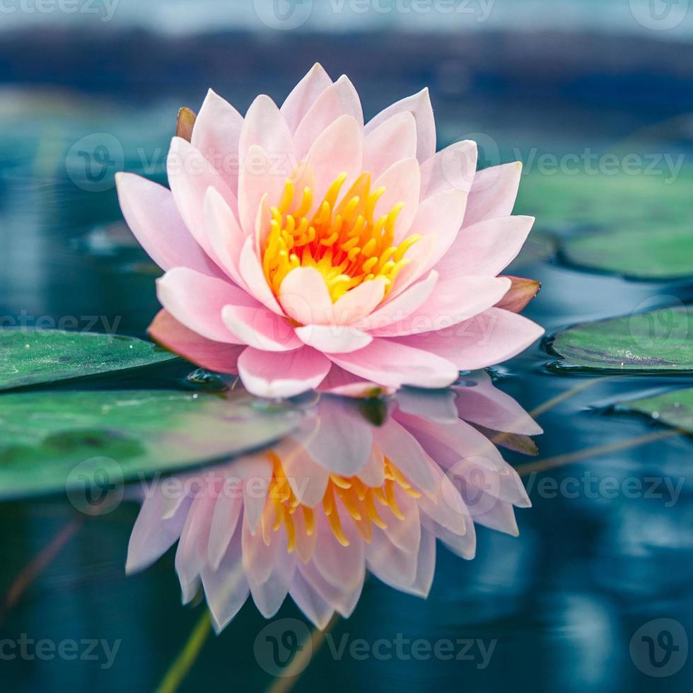 vacker rosa lotus, vattenväxt med reflektion i ett damm foto