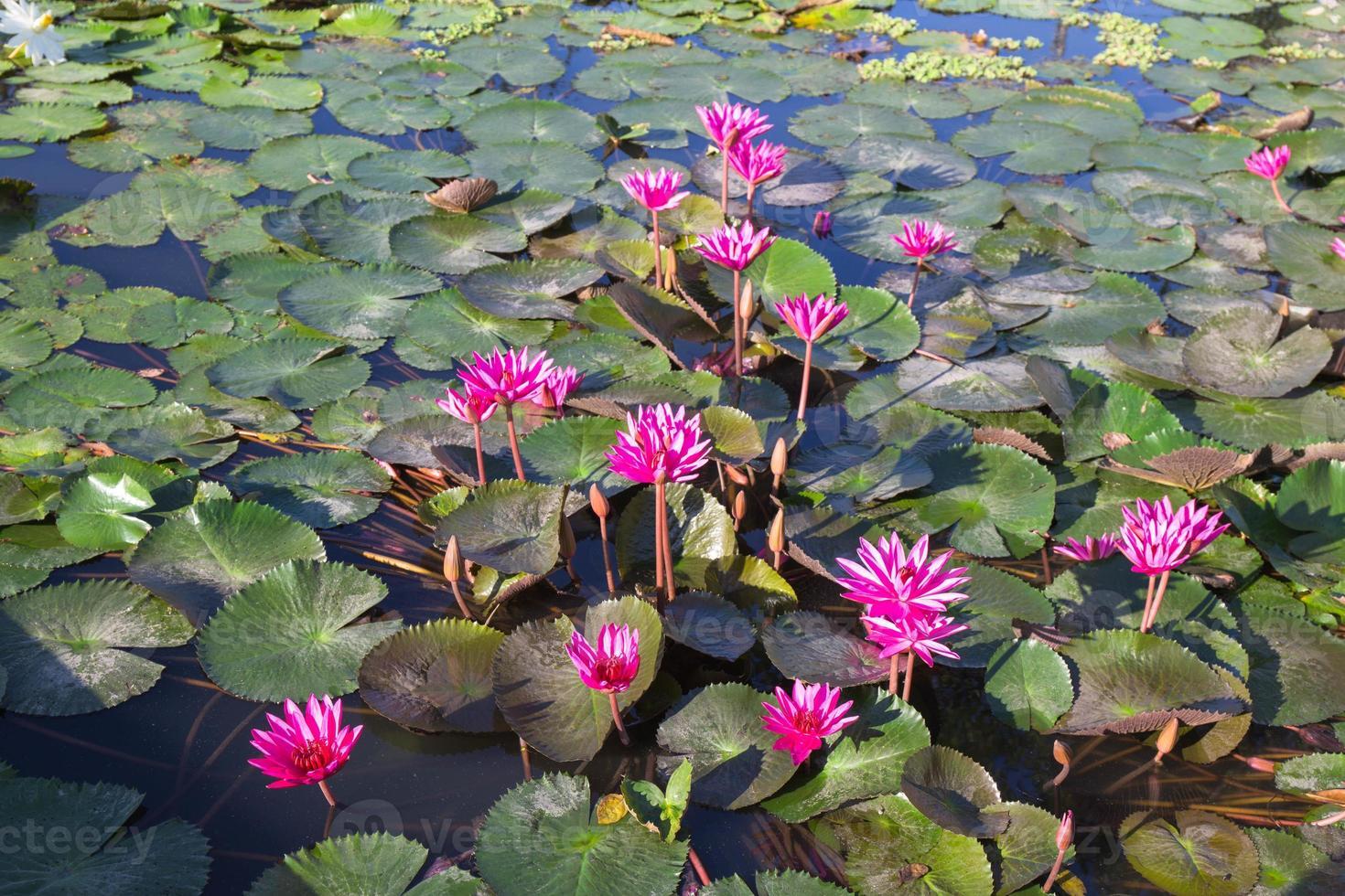 grupp rosa lotus i träsk foto