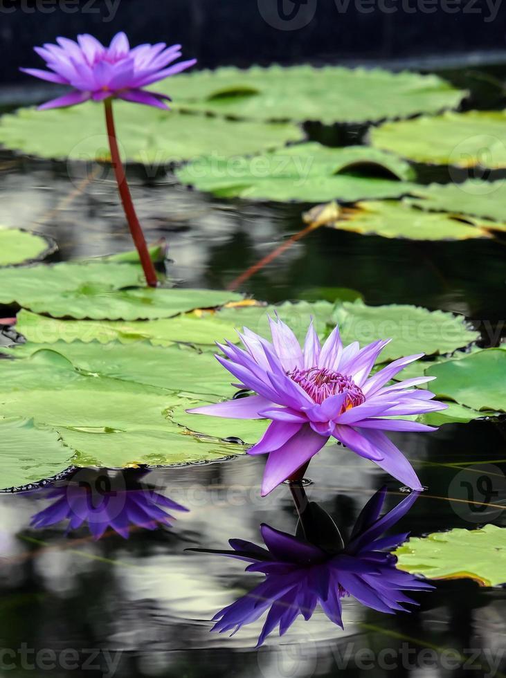vacker lila näckros med reflektion foto