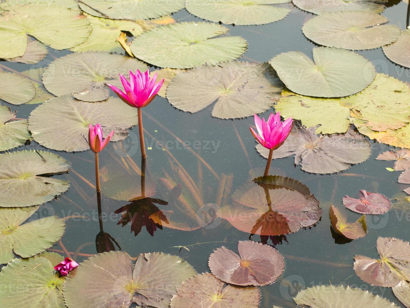 Lotus damm landskap. foto