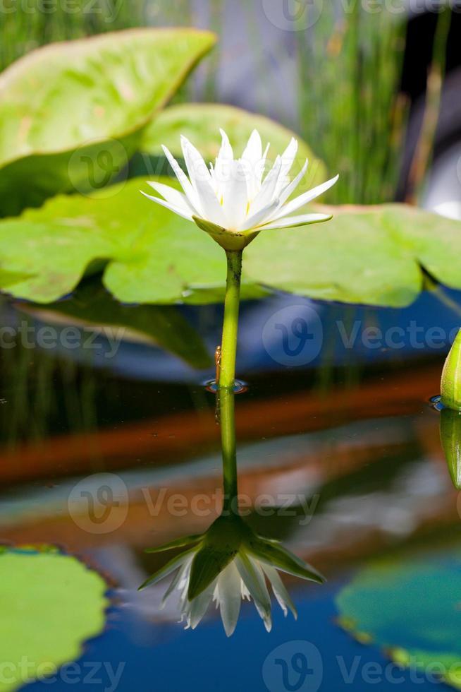 vacker vit blomma lilja lotus flyter på vatten foto