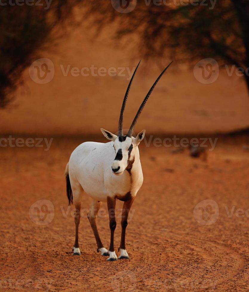 öknen oryx foto