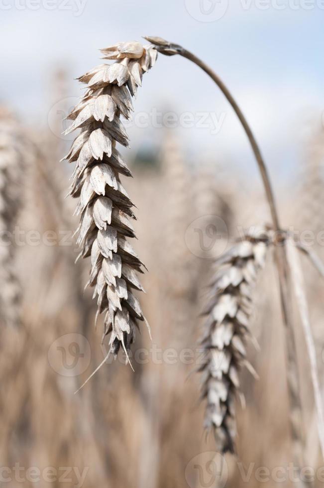 mogna veteöron på fältet foto