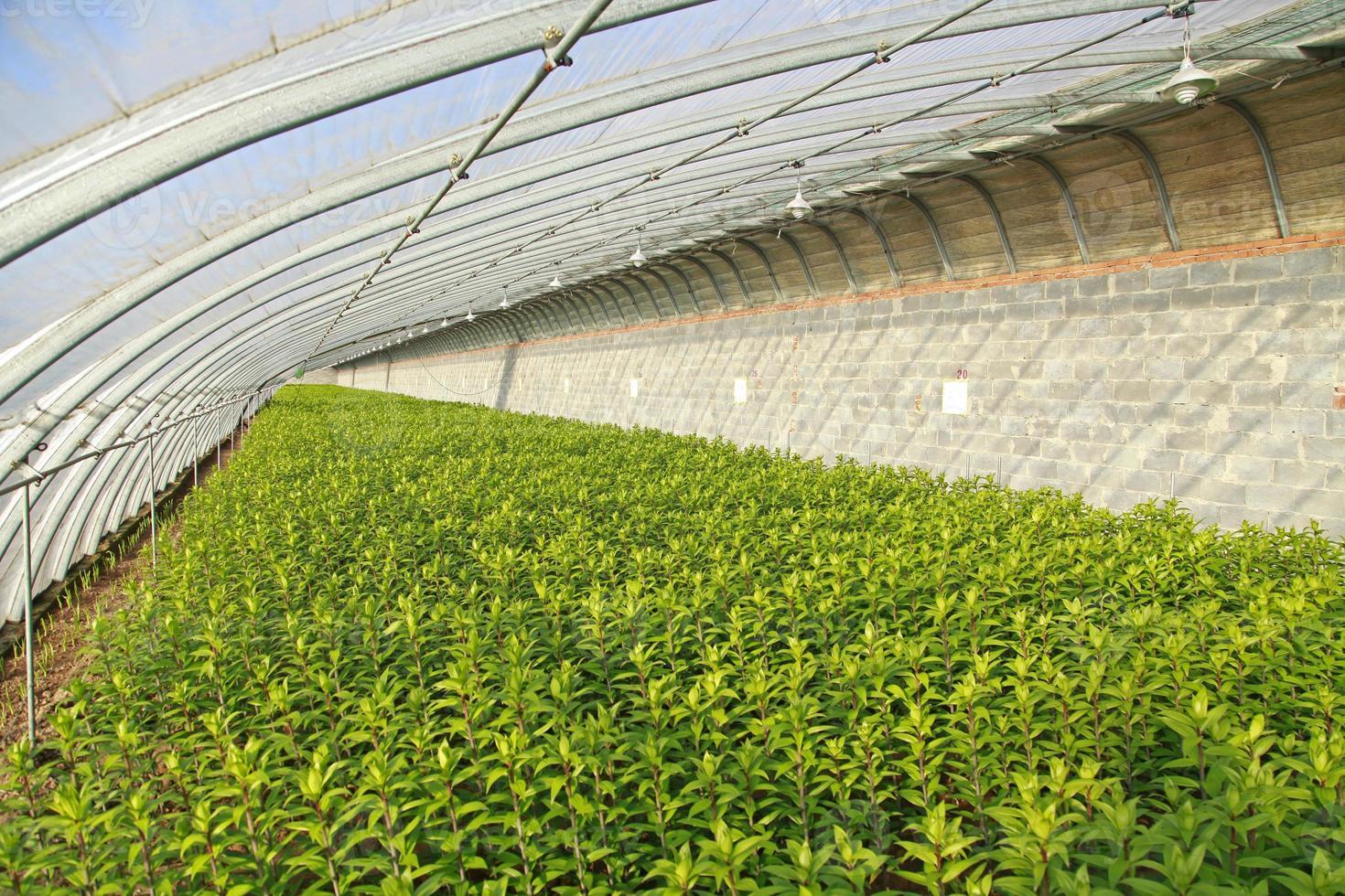 liljor planteras i växthus foto