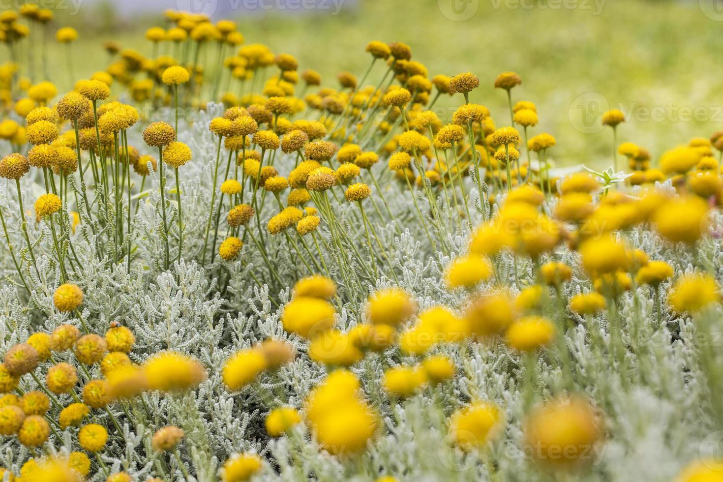 blomman på Kanarieöarna. foto