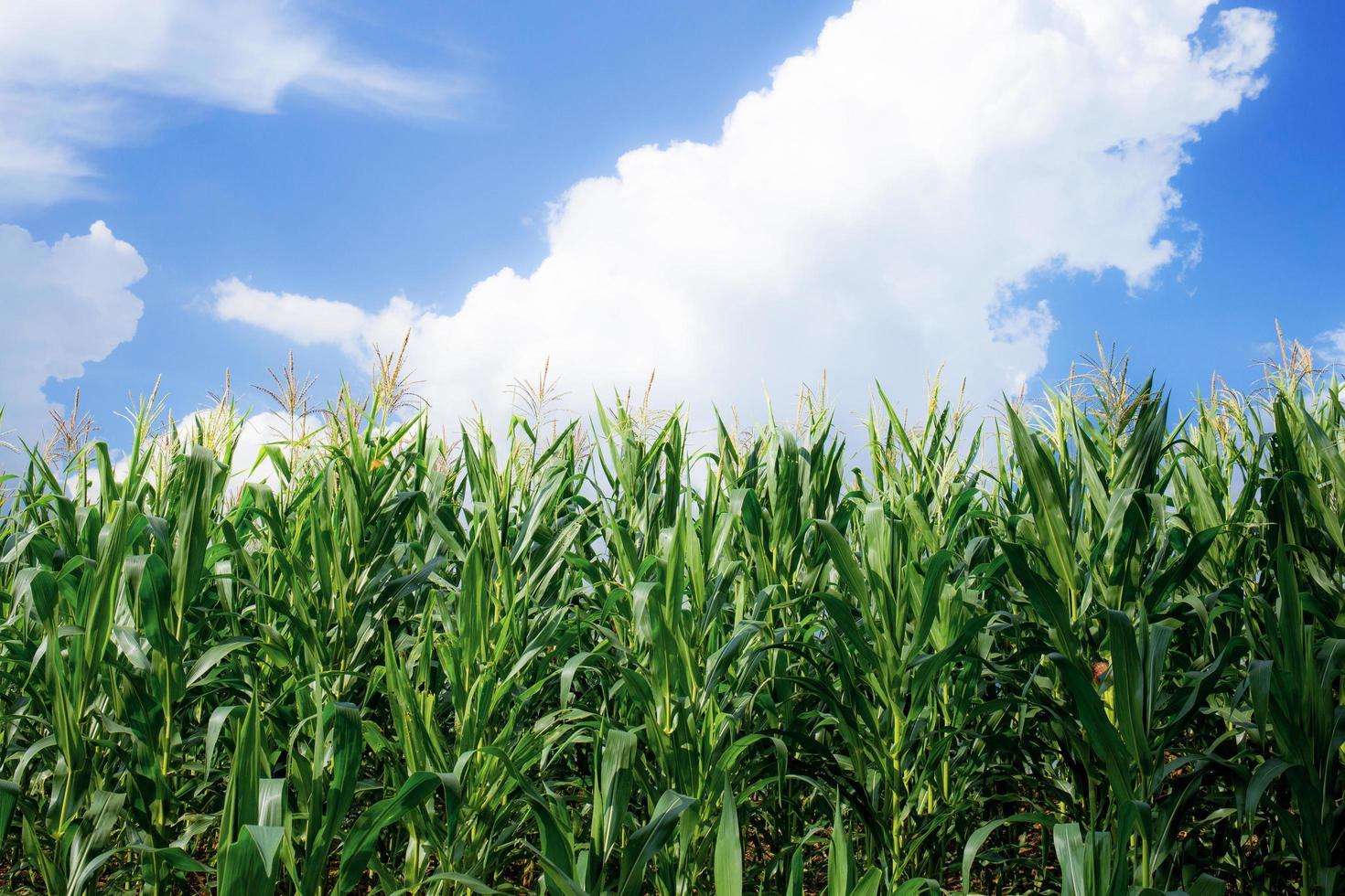 utsikt över majsfält på sommardag i Thailand foto