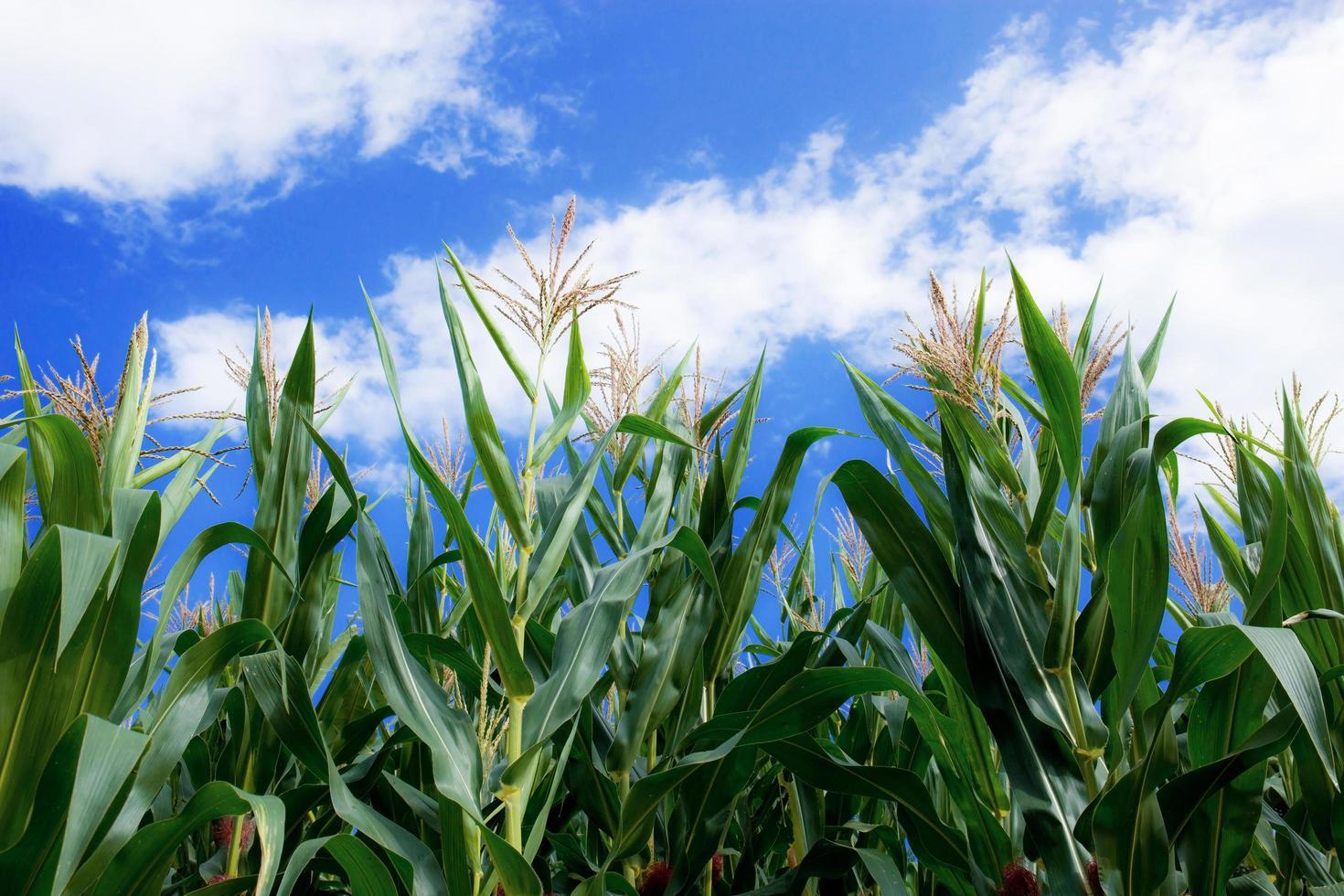 majsväxter på blå himmel. foto