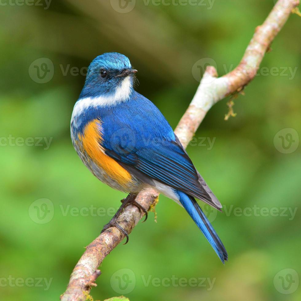 himalayansk bluetail fågel foto