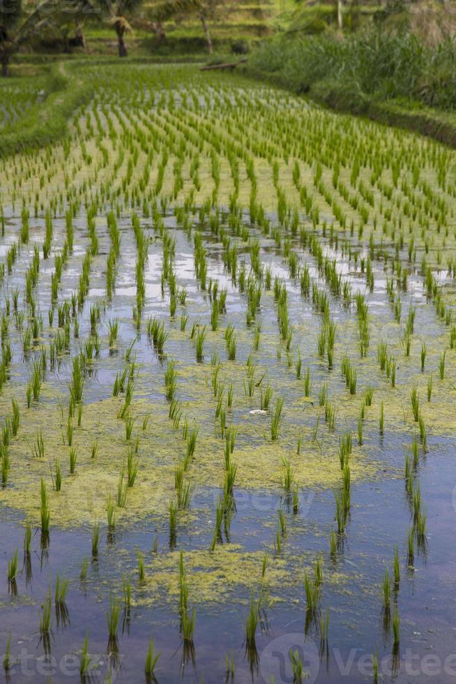 risfält på Bali Indonesien foto