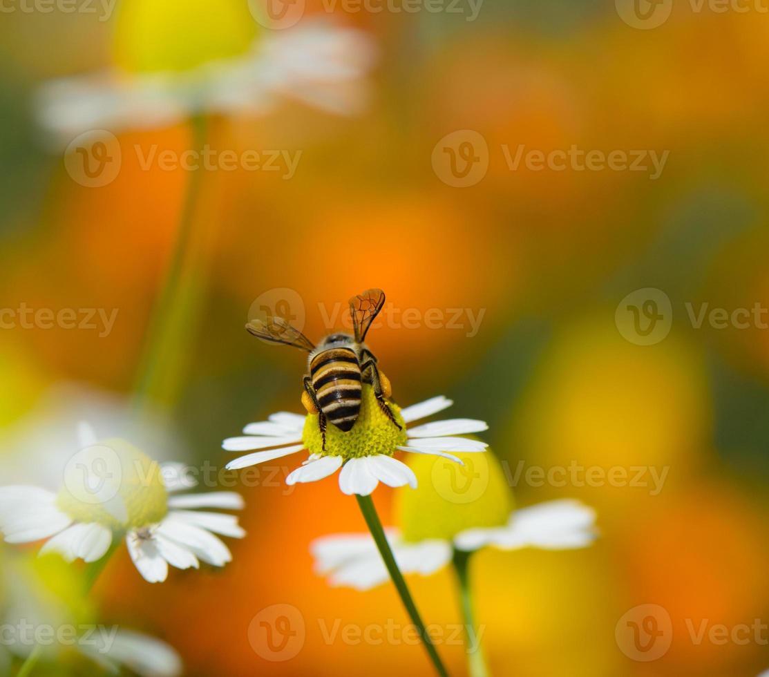 bi på blomma foto