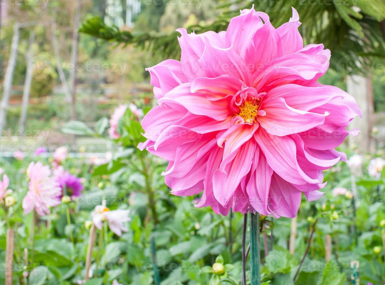 rosa blomma i doi inthanon foto
